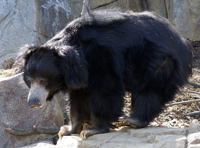 http://news.worldwild.org/wp-content/uploads/2008/09/sloth_bear.jpg