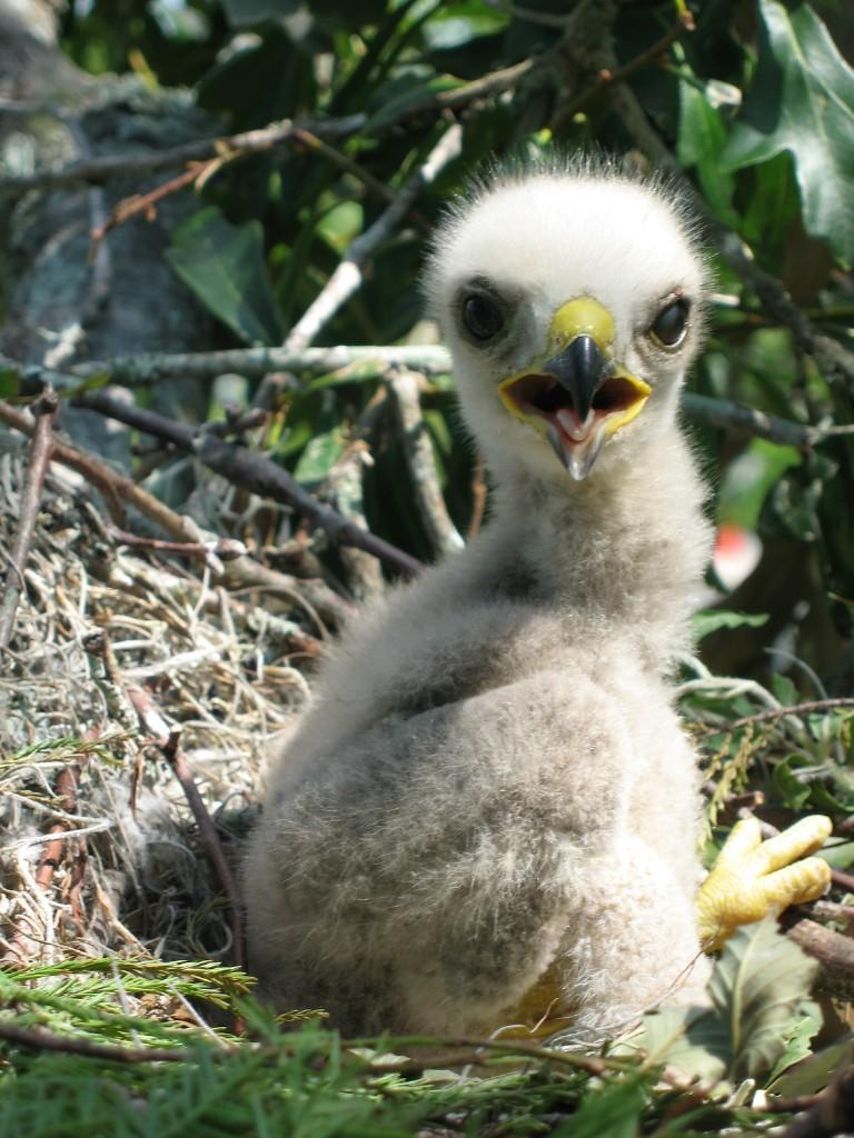 baby-hawk